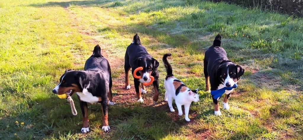 Appenzeller Sennenhunde Vom Felsengarten